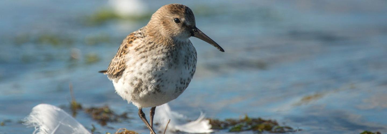 Bird in the water, Nesting, Shetland