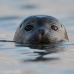 Inquisitive seal popping its head up for a look around