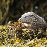 Otter among the seaweed