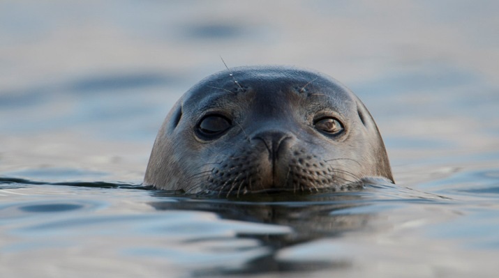 Seal peeking above the water