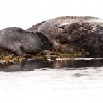 Seals kisses at the shore