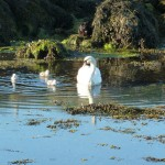 Swan out for a swim with their cygnets